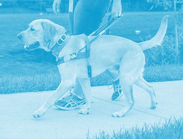 Blue colored image of a yellow lab in Leader Dog harness walking on a sidewalk. The photo is taken from the left. A person's hands and legs are visible to the right of the dog